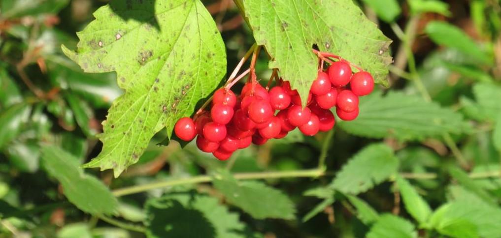 rote Beeren im Pfrunger-Burgweiler Ried