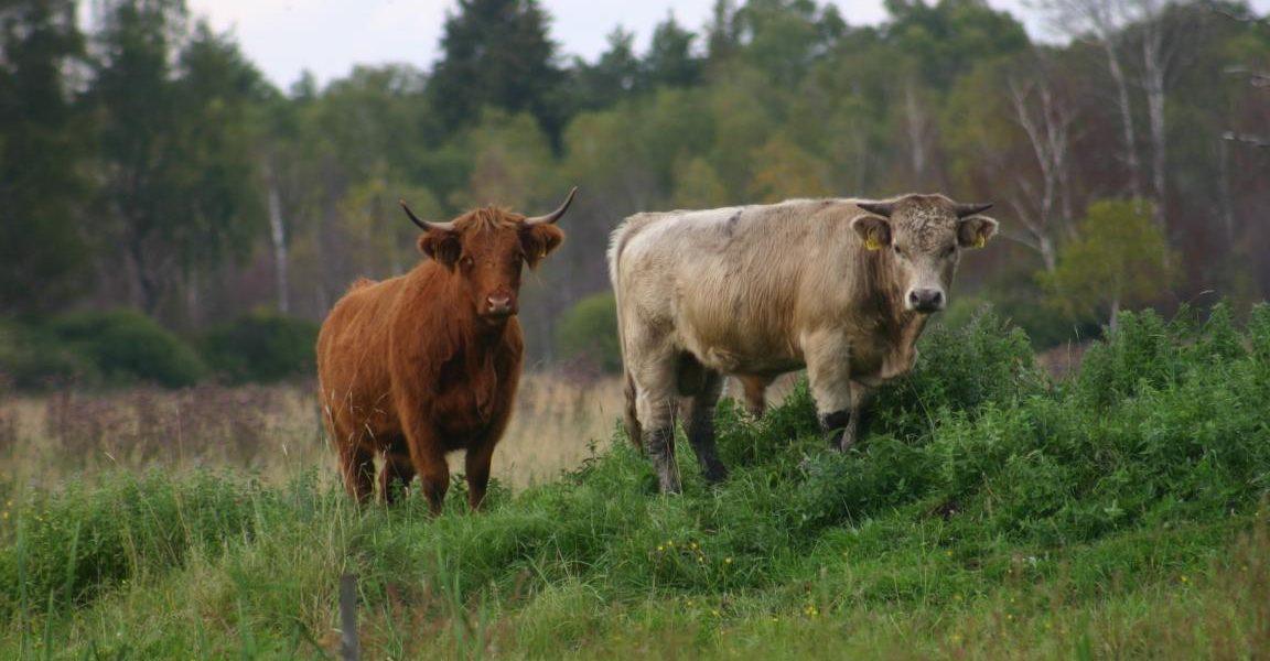 Beweidung des Pfrunger-Burgweiler Riedes mit Rindern