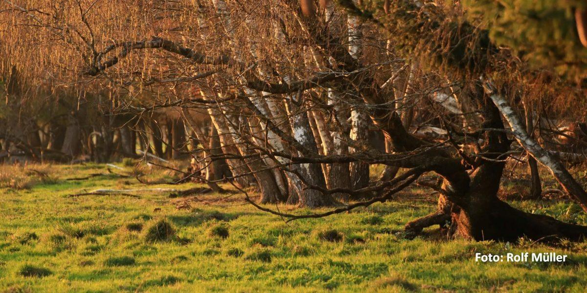 Bäume im Sonnenlicht im Pfrunger-Burgweiler Ried