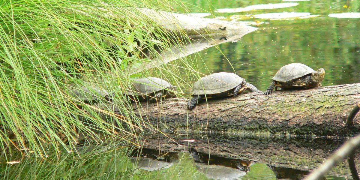 Europäische Sumpfschildkröte auf Baumstamm
