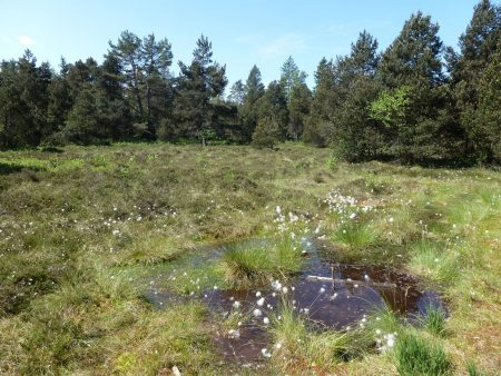 Wollgraswiese am Eulenbruck