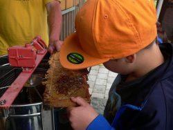 Honigwabe entdeckeln Bienen-AG Naturschutzzentrum Wilhelmsdorf