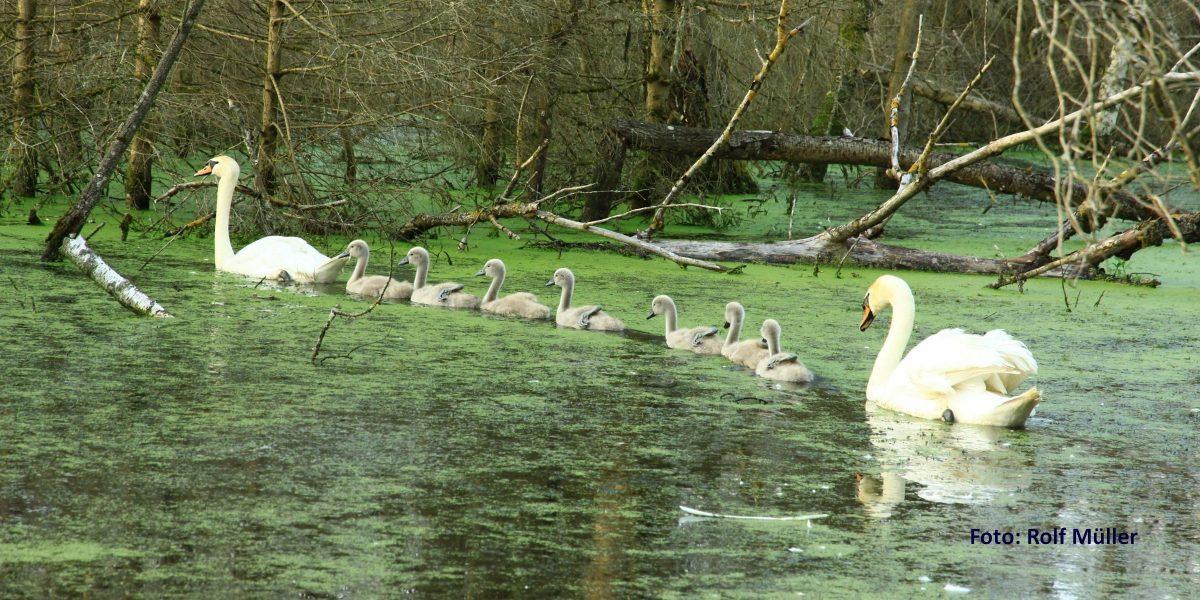 Schwaneneltern mit Jungen im Pfrunger-Burgweiler Ried