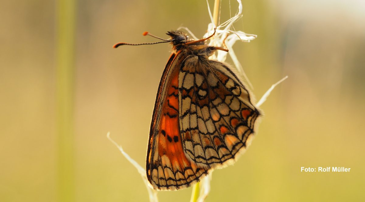 Schmetterling im Pfrunger-Burgweiler Ried