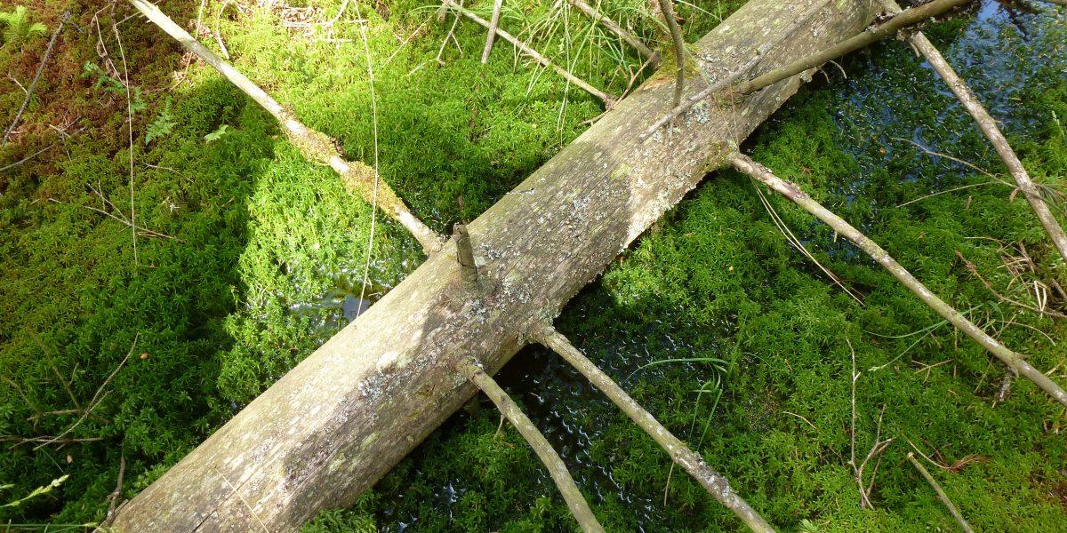 Moose im Pfrunger-Burgweiler Ried