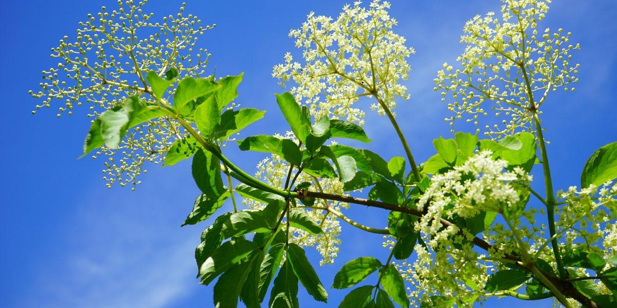 Schwarzer Holunder Blüten vor blauem Himmel