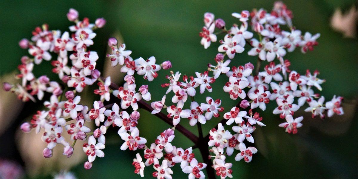 Holunderblüten: Ideen für einen naturnahen Garten