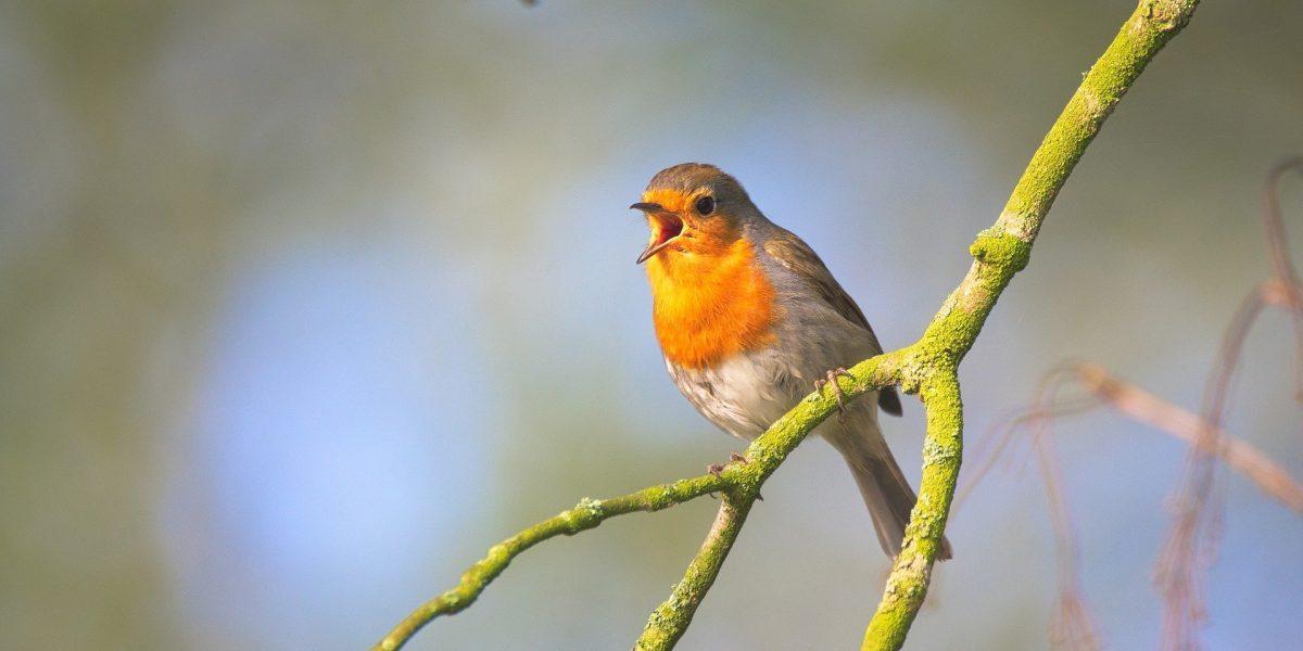 Rotkehlchen Vogelführung
