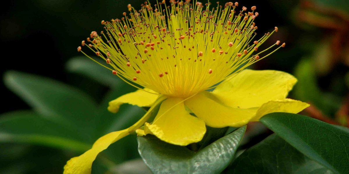 Johanneskraut Blüte