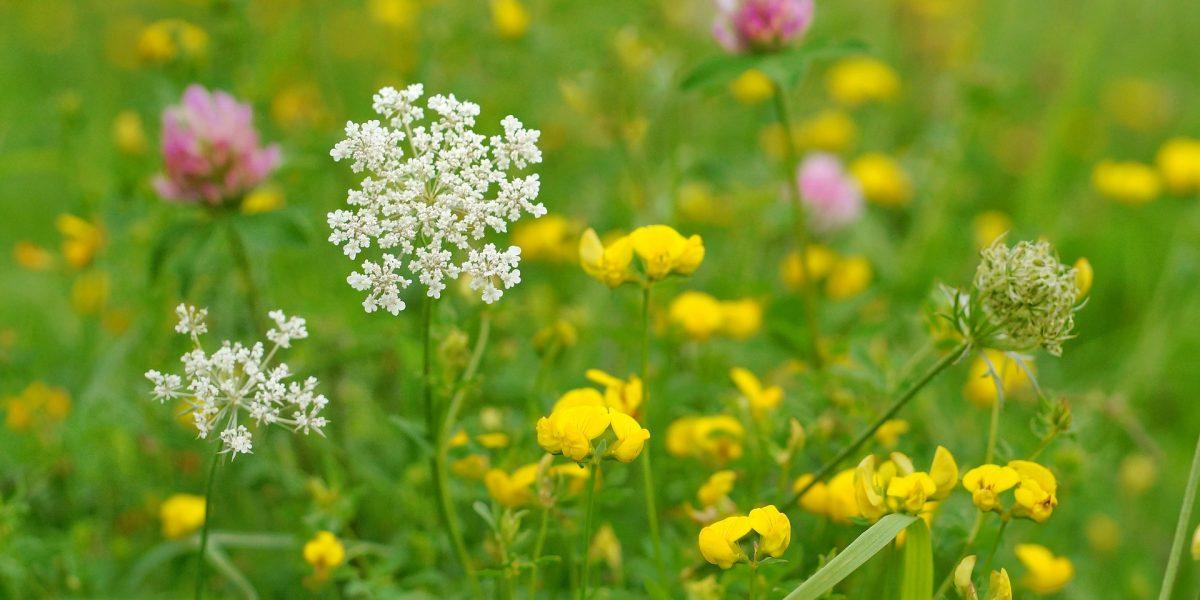 Blumenwiese mit Kräutern